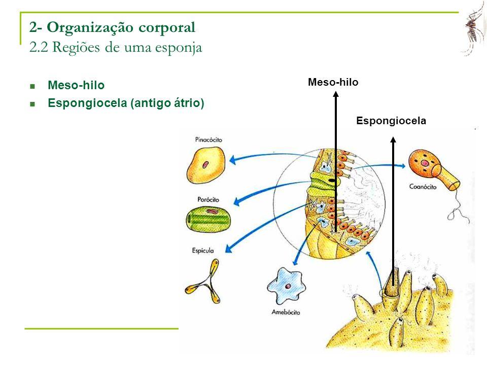 Laboratório de Ecologia Química de Insetos Vetores – ICB/UFMG 6 2- Organização corporal 2.2 Regiões de uma esponja Meso-hilo Espongiocela (antigo átri