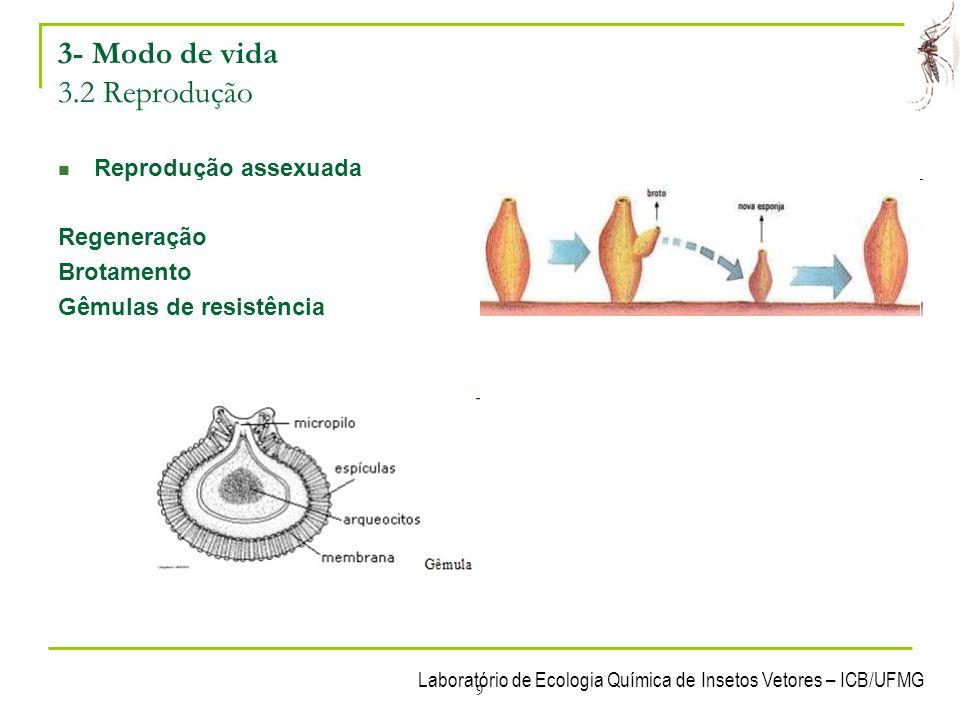 Laboratório de Ecologia Química de Insetos Vetores – ICB/UFMG 10 3- Modo de vida 3.2 Reprodução Reprodução sexuada As esponjas podem ser monóicas ou dióicas Amebócitos óvulos e espermatozóides (?) óvulos no meso-hilo espermatozóides liberados Espermatozóides penetram a esponja e se ligam aos coanócitos que se transforma em amebócitos Amebócitos se deslocam até o óvulo e tranferem o núcleo do espermatozóide Fecundação interna.