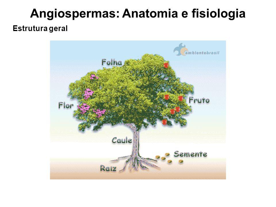 Angiospermas: Anatomia e fisiologia Raiz Parte do eixo do vegetal desprovido de folhas, geralmente aclorofilado.
