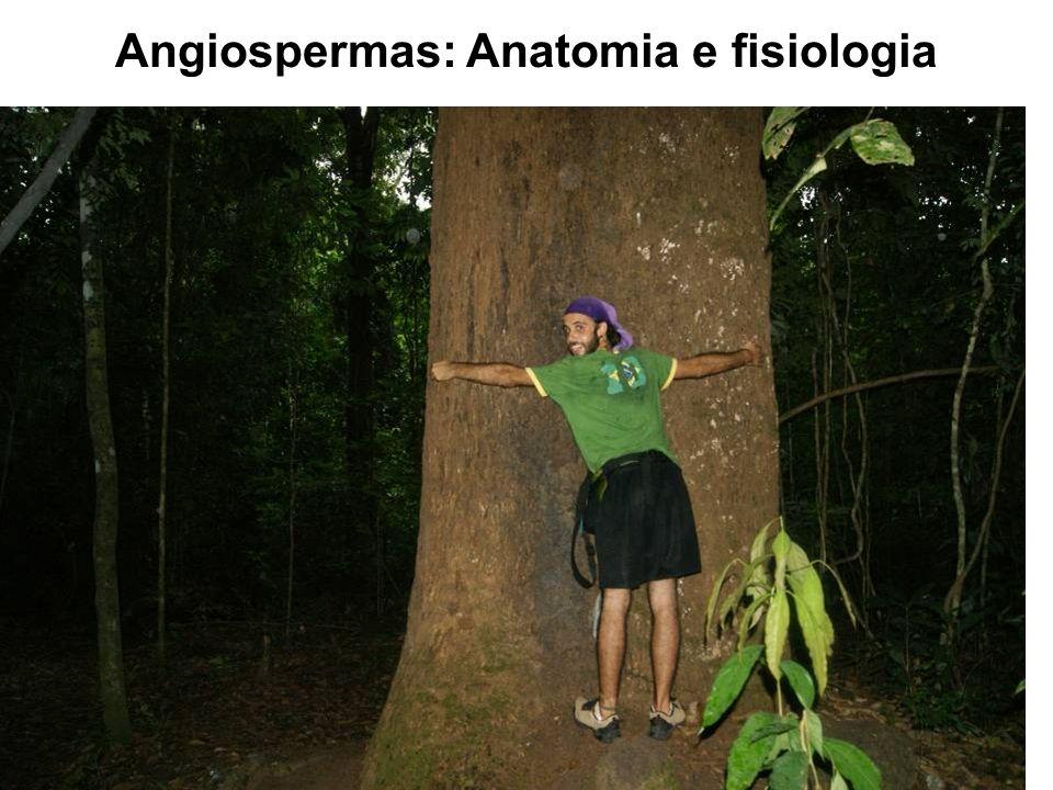 Angiospermas: Anatomia e fisiologia Caule Órgão das plantas vasculares que serve fundamentalmente como suporte das folhas, flores e frutos e para tran