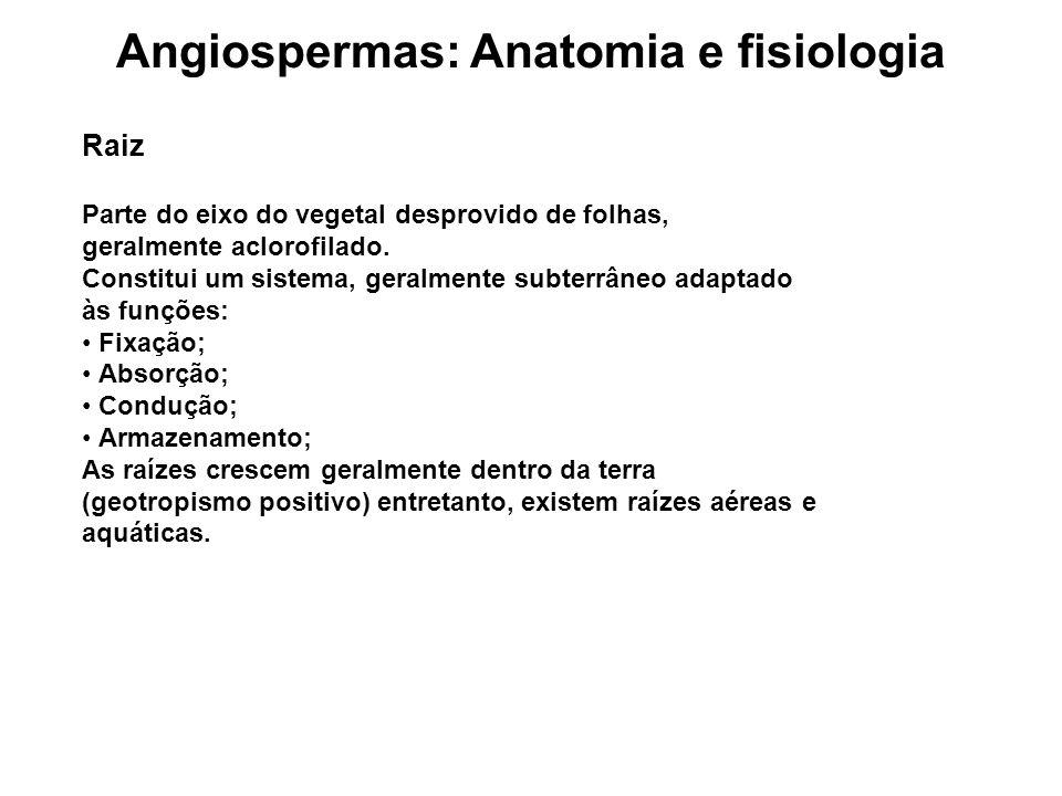 Angiospermas: Anatomia e fisiologia Raiz PARTES DE UMA RAIZ: - COLO (transição com o caule) - ZONA DE RAMIFICAÇÃO (suberosa) - ZONA DE PILÍFERA (absorção) - ZONA LISA (crescimento, meristema) - COIFA (proteção)