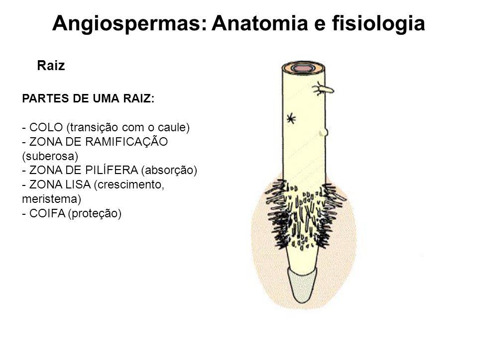 Angiospermas: Anatomia e fisiologia Raiz PARTES DE UMA RAIZ: - COLO (transição com o caule) - ZONA DE RAMIFICAÇÃO (suberosa) - ZONA DE PILÍFERA (absor