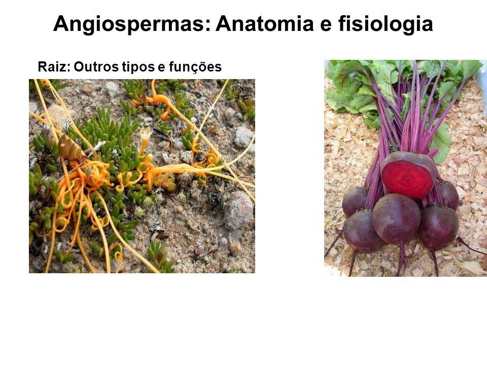 Angiospermas: Anatomia e fisiologia Raiz: Outros tipos e funções