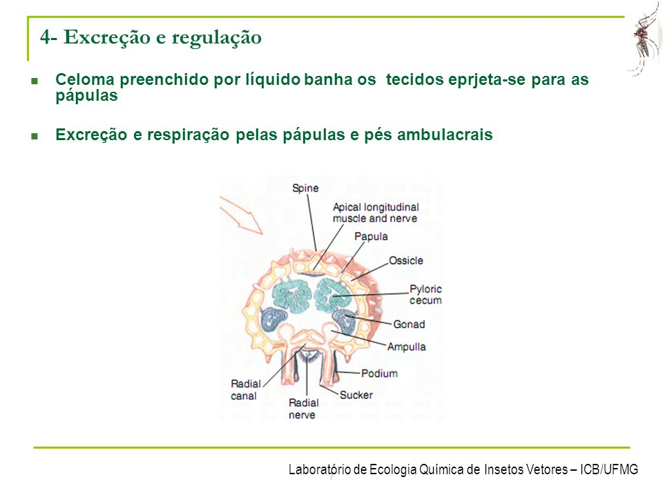 Laboratório de Ecologia Química de Insetos Vetores – ICB/UFMG 7 4- Excreção e regulação Celoma preenchido por líquido banha os tecidos eprjeta-se para