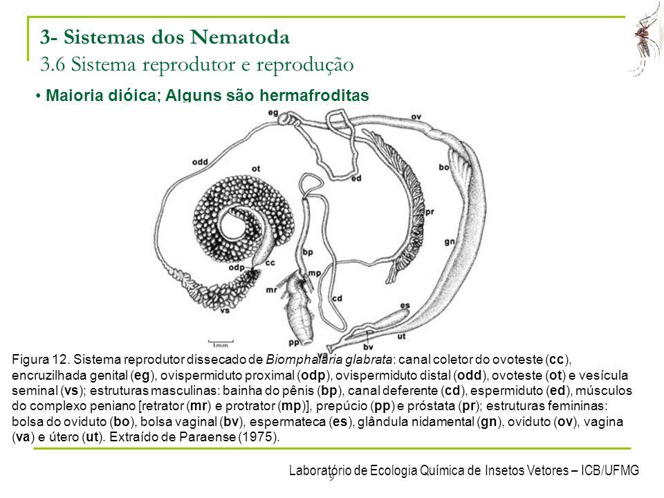 Laboratório de Ecologia Química de Insetos Vetores – ICB/UFMG 9 3- Sistemas dos Nematoda 3.6 Sistema reprodutor e reprodução Maioria dióica; Alguns sã