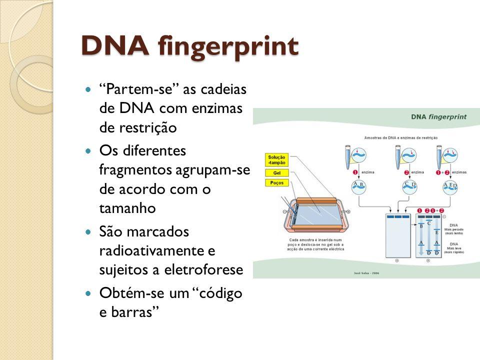 DNA fingerprint Partem-se as cadeias de DNA com enzimas de restrição Os diferentes fragmentos agrupam-se de acordo com o tamanho São marcados radioativamente e sujeitos a eletroforese Obtém-se um código e barras