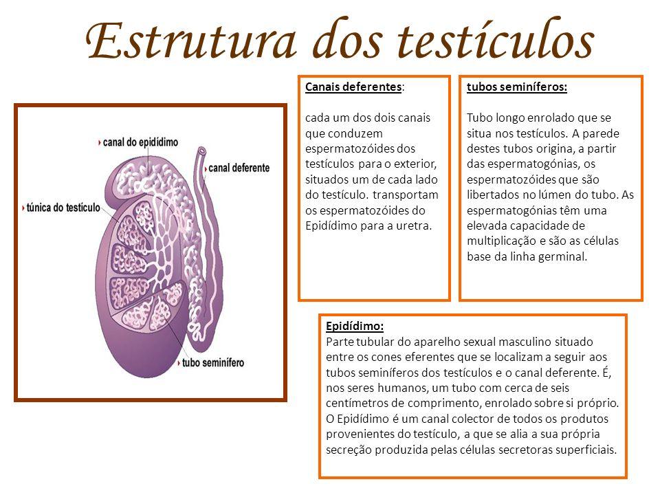 Estrutura dos testículos Canais deferentes: cada um dos dois canais que conduzem espermatozóides dos testículos para o exterior, situados um de cada l
