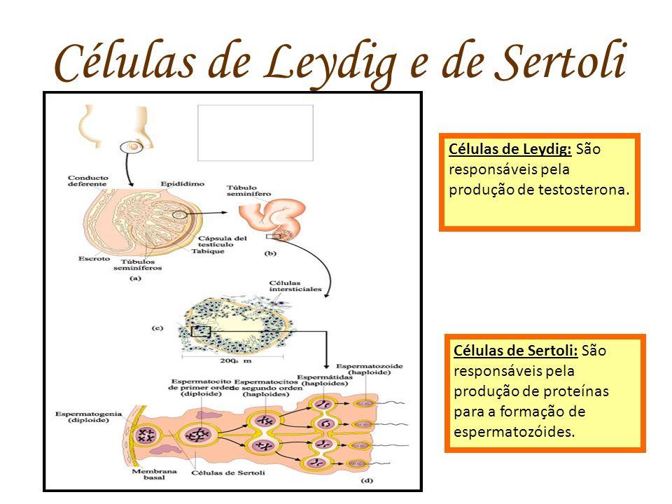 Células de Leydig e de Sertoli Células de Leydig: São responsáveis pela produção de testosterona. Células de Sertoli: São responsáveis pela produção d
