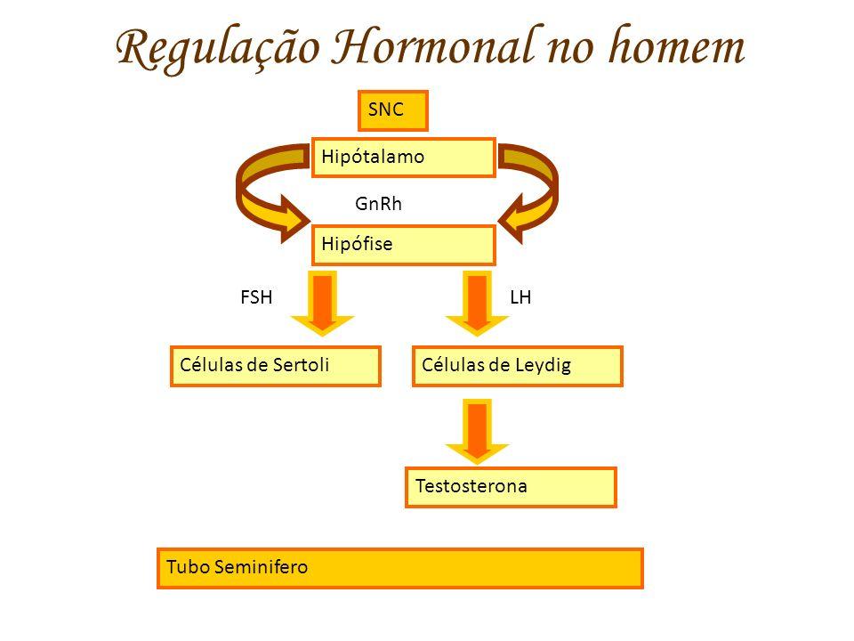 Regulação Hormonal no homem SNC Hipótalamo GnRh Hipófise Células de Leydig FSHLH Células de Sertoli Testosterona Tubo Seminifero