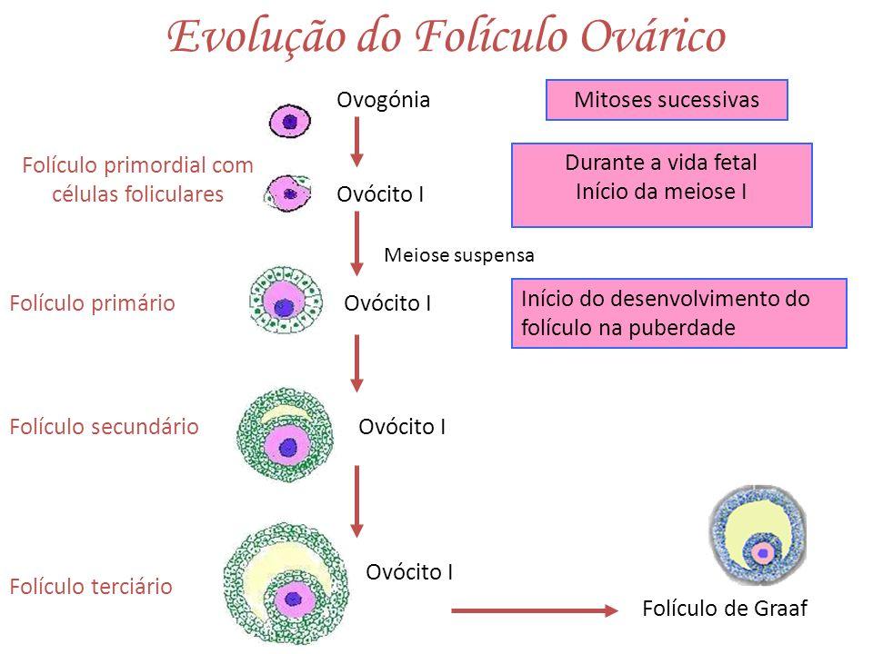 Evolução do Folículo Ovárico Ovogónia Ovócito I Folículo primordial com células foliculares Ovócito I Folículo terciário Folículo secundário Folículo