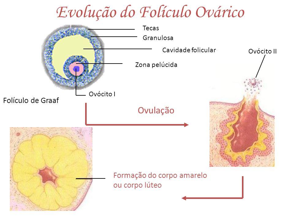 Evolução do Folículo Ovárico Corte transversal de um ovário Corpo lúteo em degeneração Folículos primordiais Ligamento do ovário Desenvolvimento do corpo lúteoMedula Folículo secundário Folículos primários Oócito IGranulosa Folículo terciário Oócito II Corona radiata Folículo de Graaf Cavidade folicular Oócito I Teca Zona pelúcida Corpo lúteo