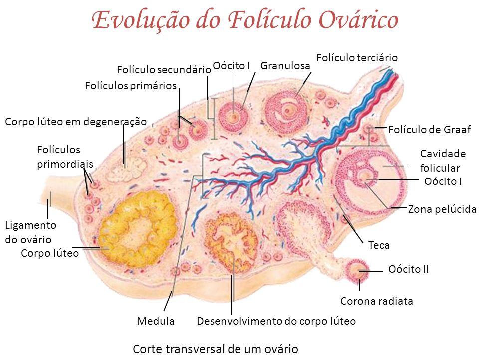 Evolução do Folículo Ovárico Corte transversal de um ovário Corpo lúteo em degeneração Folículos primordiais Ligamento do ovário Desenvolvimento do co