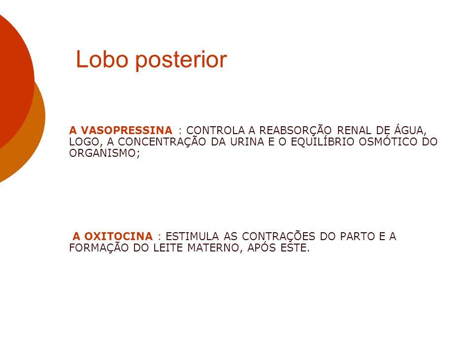 Lobo posterior A VASOPRESSINA : CONTROLA A REABSORÇÃO RENAL DE ÁGUA, LOGO, A CONCENTRAÇÃO DA URINA E O EQUILÍBRIO OSMÓTICO DO ORGANISMO; A OXITOCINA :