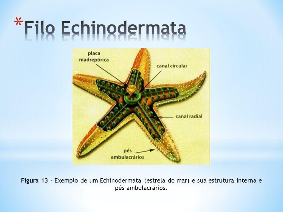 Figura 13 - Exemplo de um Echinodermata (estrela do mar) e sua estrutura interna e pés ambulacrários.
