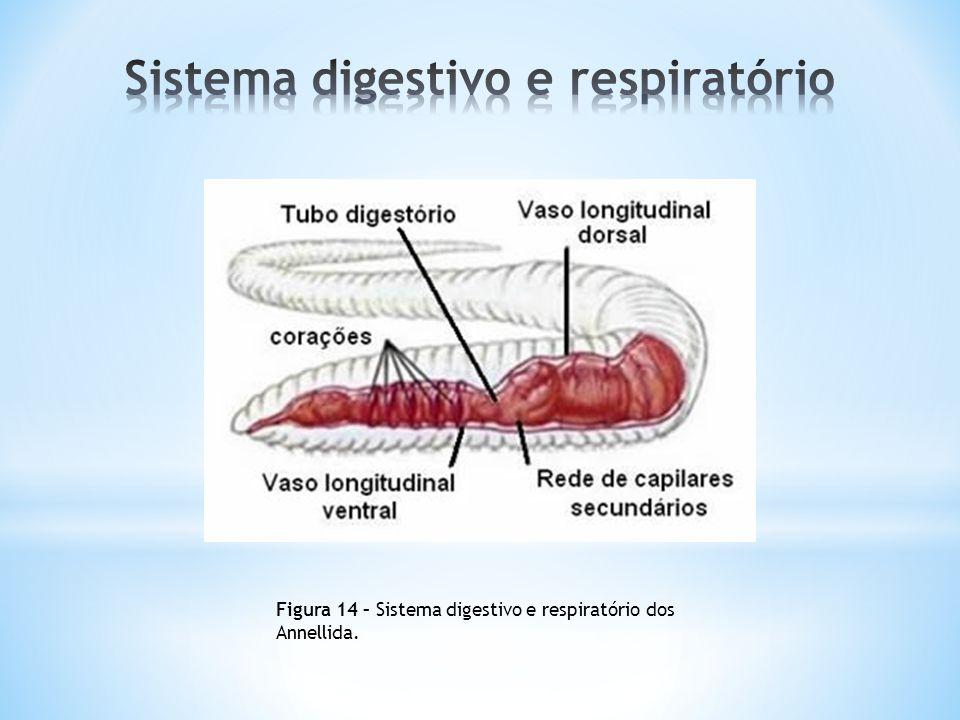 Figura 14 – Sistema digestivo e respiratório dos Annellida.