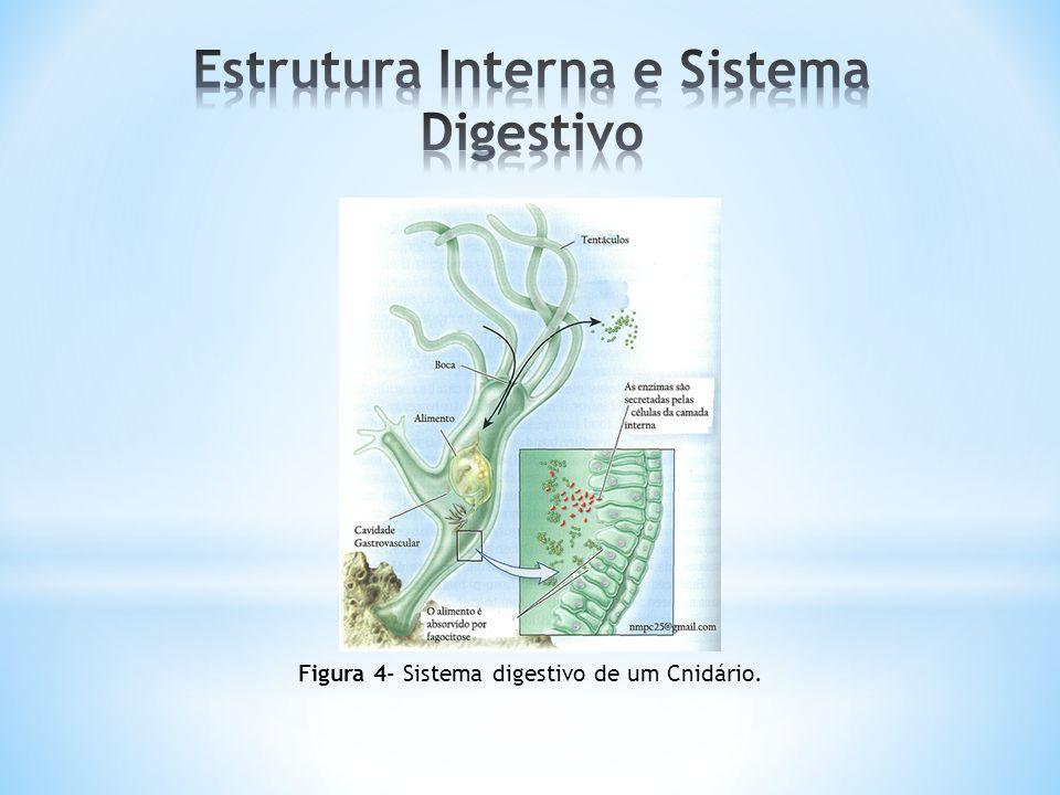 Figura 4- Sistema digestivo de um Cnidário.