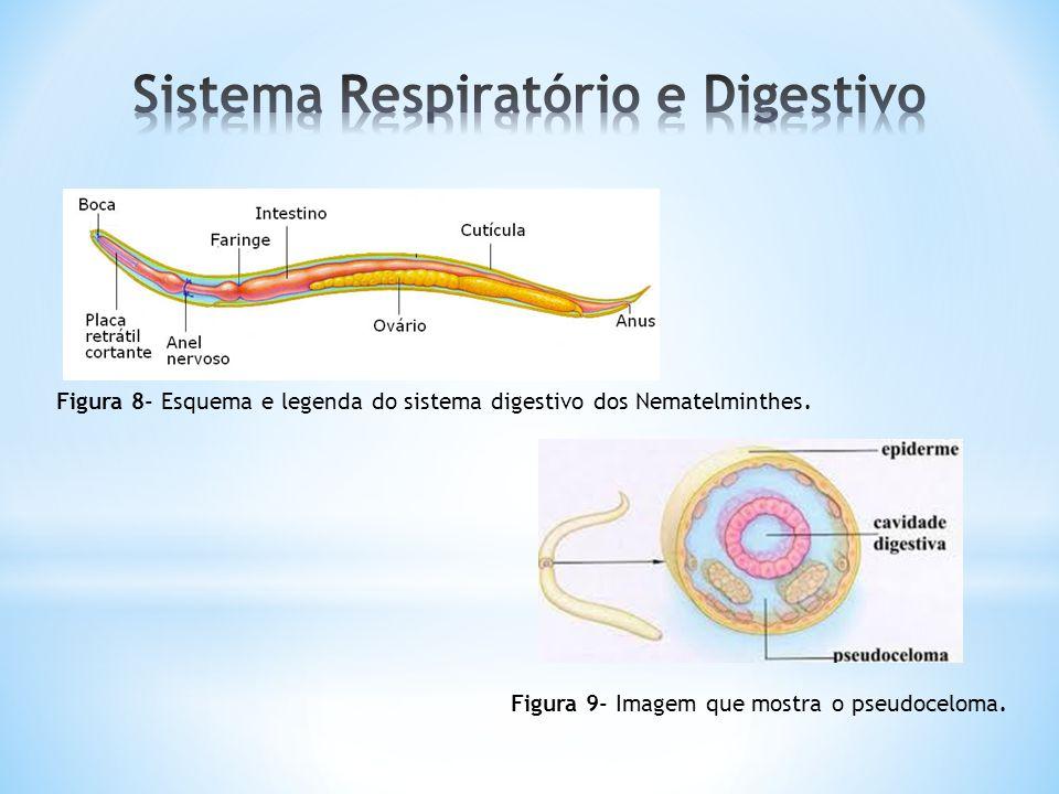 Figura 8- Esquema e legenda do sistema digestivo dos Nematelminthes.