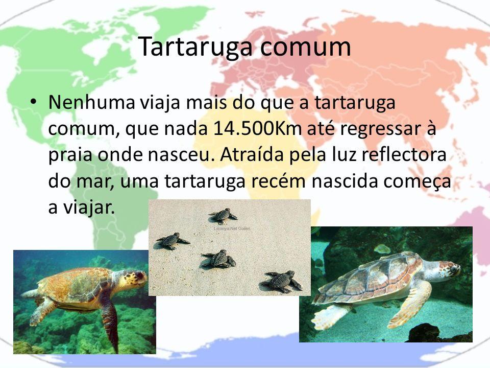 Tartaruga comum Nenhuma viaja mais do que a tartaruga comum, que nada 14.500Km até regressar à praia onde nasceu. Atraída pela luz reflectora do mar,