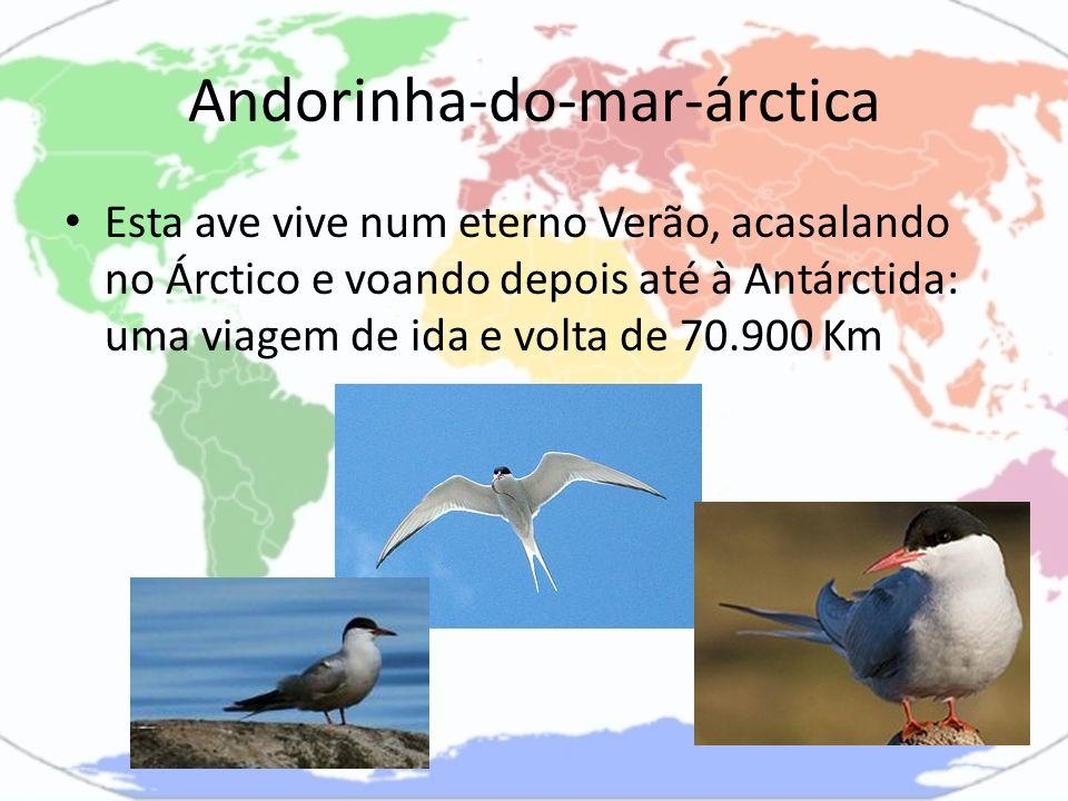 Andorinha-do-mar-árctica Esta ave vive num eterno Verão, acasalando no Árctico e voando depois até à Antárctida: uma viagem de ida e volta de 70.900 K