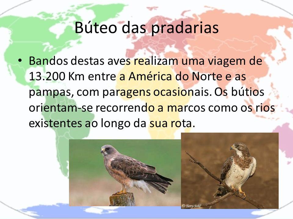 Búteo das pradarias Bandos destas aves realizam uma viagem de 13.200 Km entre a América do Norte e as pampas, com paragens ocasionais. Os bútios orien