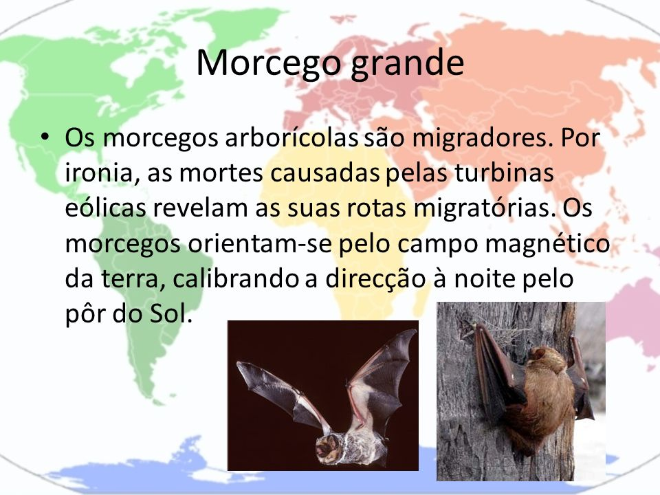 Morcego grande Os morcegos arborícolas são migradores. Por ironia, as mortes causadas pelas turbinas eólicas revelam as suas rotas migratórias. Os mor