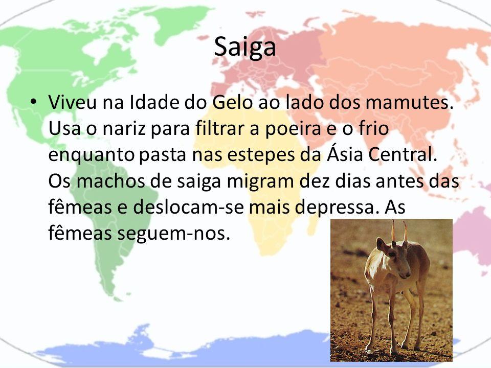 Saiga Viveu na Idade do Gelo ao lado dos mamutes. Usa o nariz para filtrar a poeira e o frio enquanto pasta nas estepes da Ásia Central. Os machos de