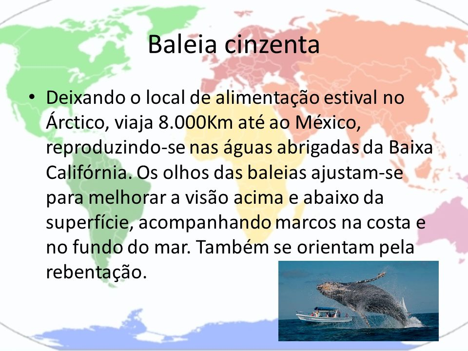 Baleia cinzenta Deixando o local de alimentação estival no Árctico, viaja 8.000Km até ao México, reproduzindo-se nas águas abrigadas da Baixa Califórn