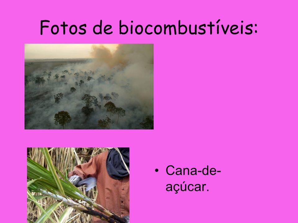 Fotos de biocombustíveis: Cana-de- açúcar.