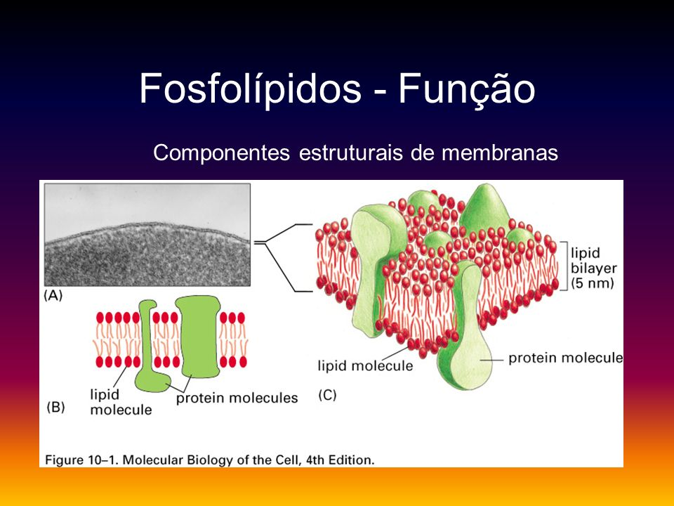 Fosfolípidos - Função Componentes estruturais de membranas