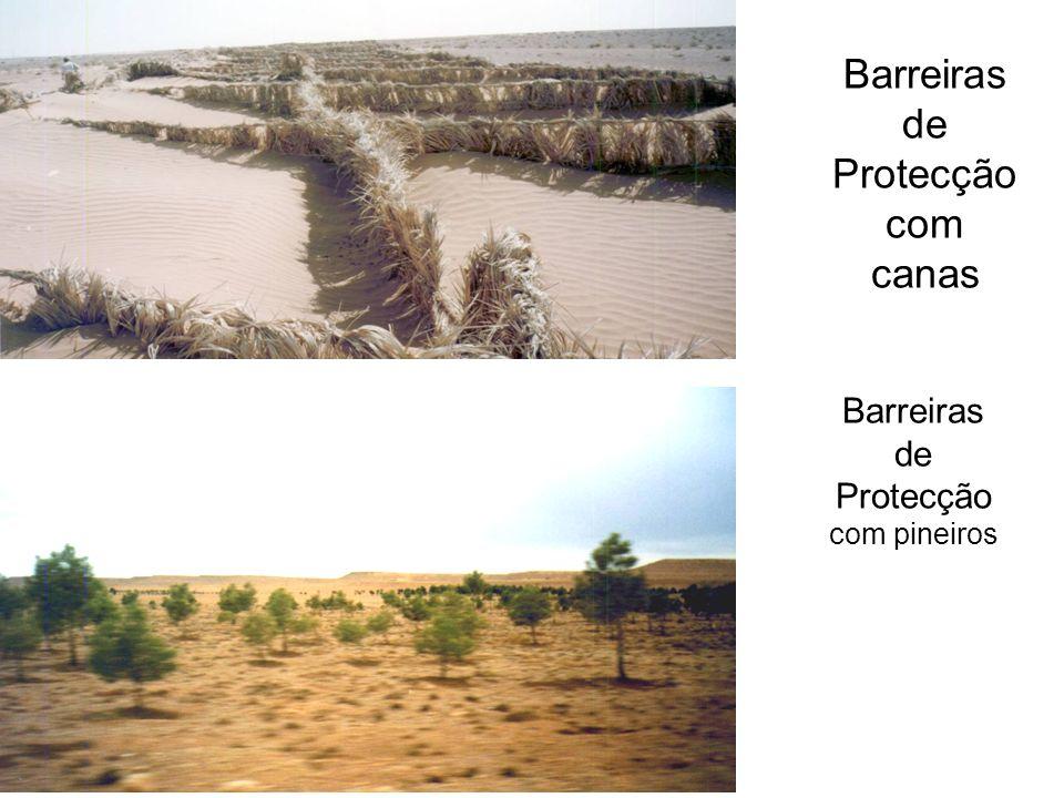 Barreiras de Protecção com canas Barreiras de Protecção com pineiros