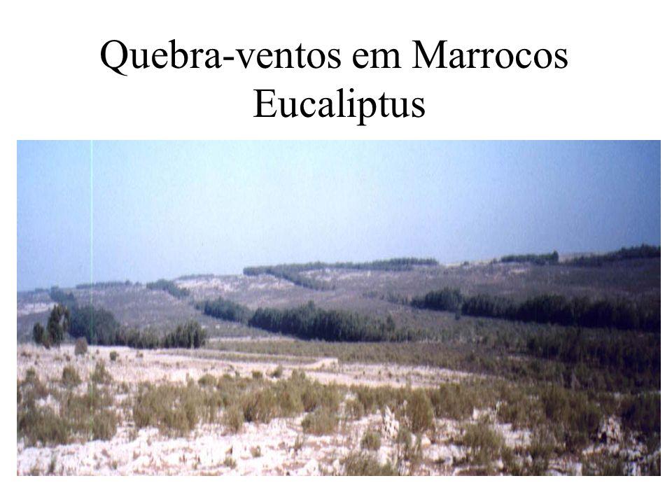 Quebra-ventos em Marrocos Eucaliptus