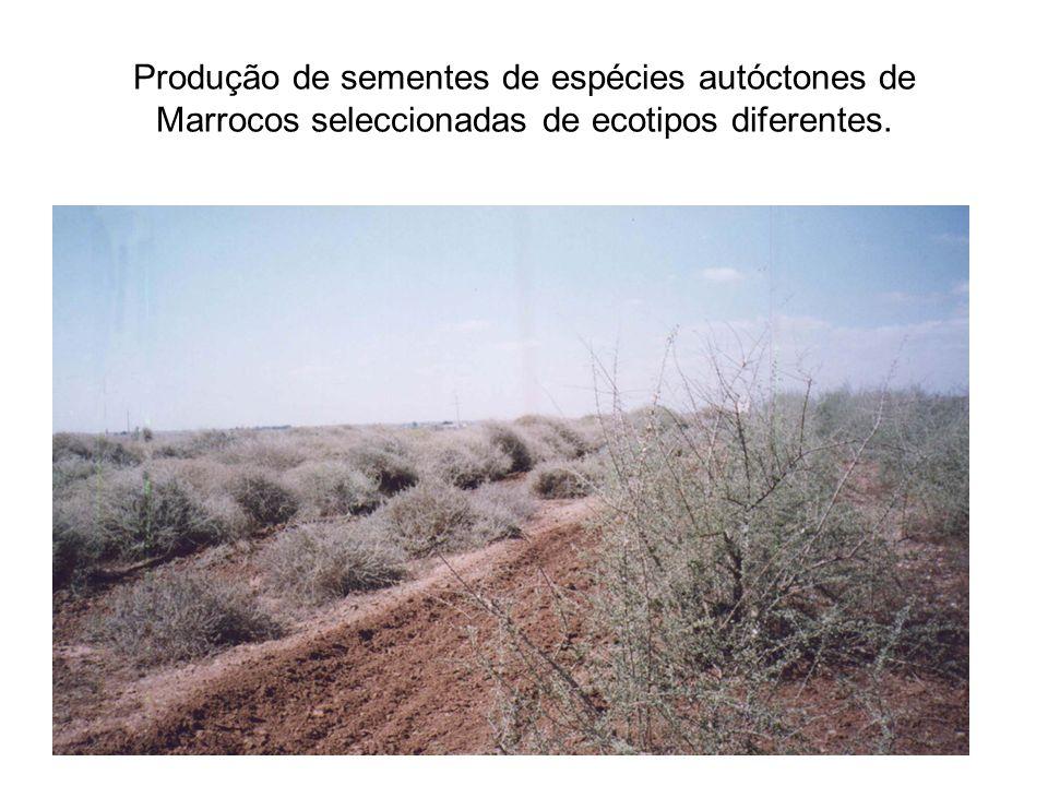 Produção de sementes de espécies autóctones de Marrocos seleccionadas de ecotipos diferentes.