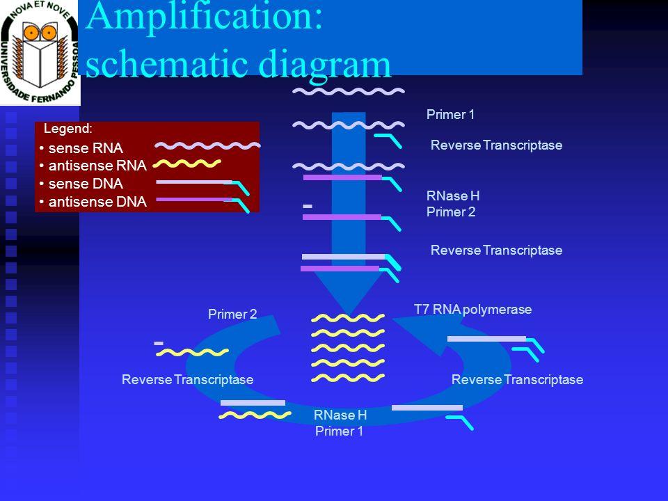 Amplification: schematic diagram Primer 1 Reverse Transcriptase RNase H Primer 2 Reverse Transcriptase T7 RNA polymerase Primer 2 Reverse Transcriptas