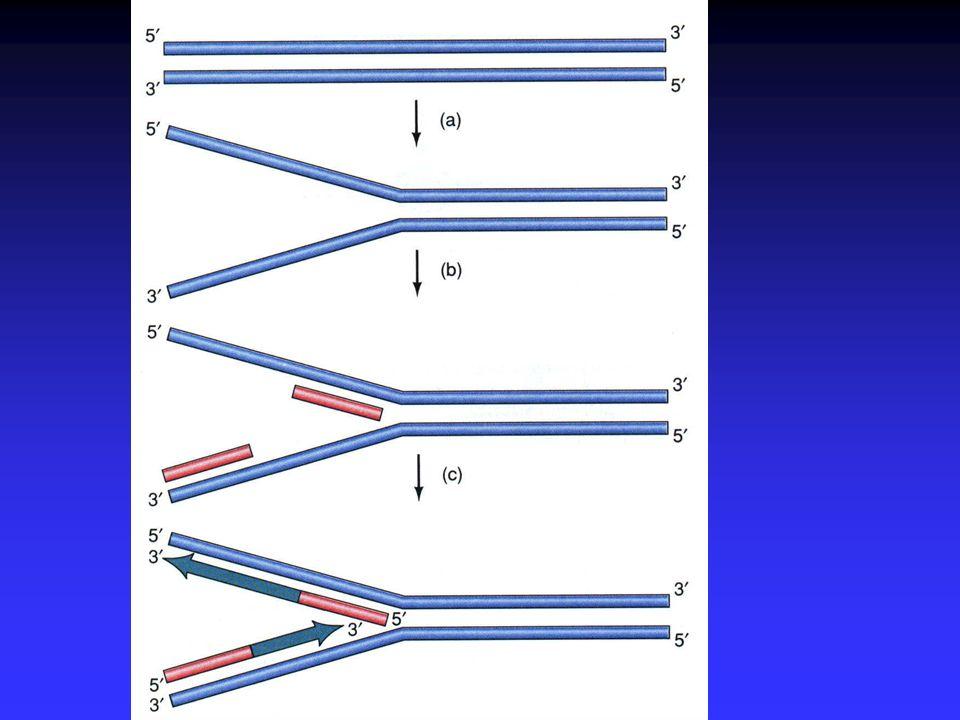 A Replicação Multiplos pontos de replicação por cromossoma Multiplos pontos de replicação por cromossoma A replicação ocorre nas duas cadeias do DNA A replicação ocorre nas duas cadeias do DNA A replicação é contínua na cadeia leading A replicação é contínua na cadeia leading A replicação é descontínua na cadeia lagging A replicação é descontínua na cadeia lagging Fragmentos de okasaki (Animação) Fragmentos de okasaki (Animação)(Animação) Síntese dos telómeros: função fisiológica da telomerase Síntese dos telómeros: função fisiológica da telomerase A correcção de erros incorporada na polimerase A correcção de erros incorporada na polimerase