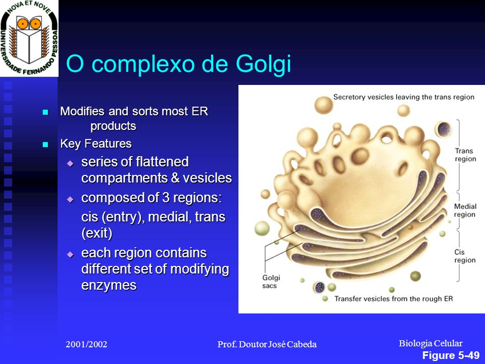 Biologia Celular 2001/2002Prof. Doutor José Cabeda O complexo de Golgi Modifies and sorts most ER products Modifies and sorts most ER products Key Fea