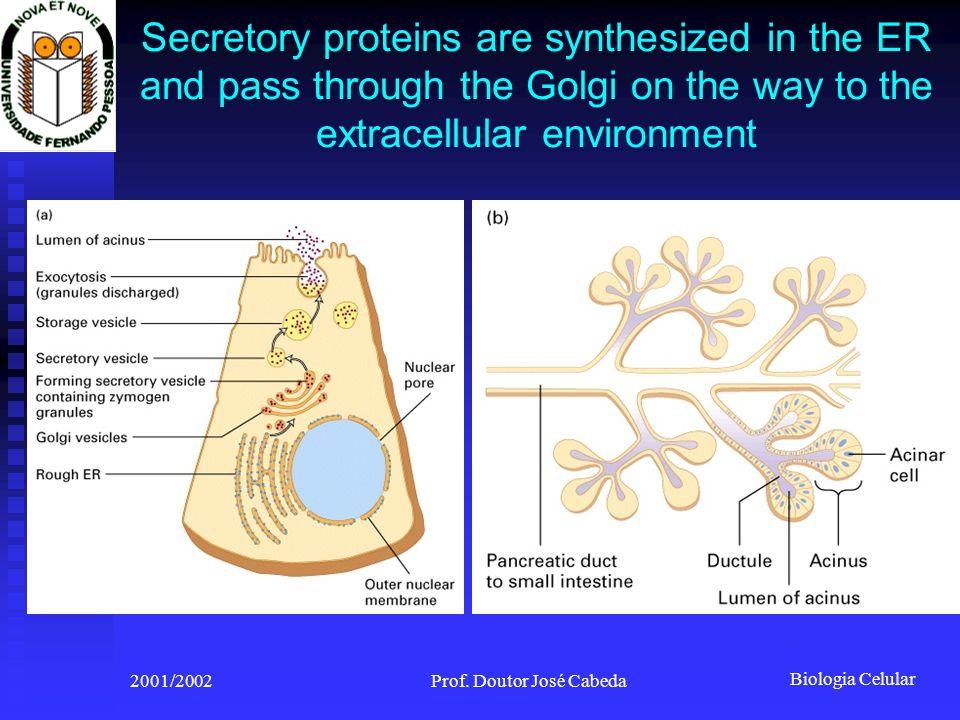Biologia Celular 2001/2002Prof. Doutor José Cabeda Secretory proteins are synthesized in the ER and pass through the Golgi on the way to the extracell