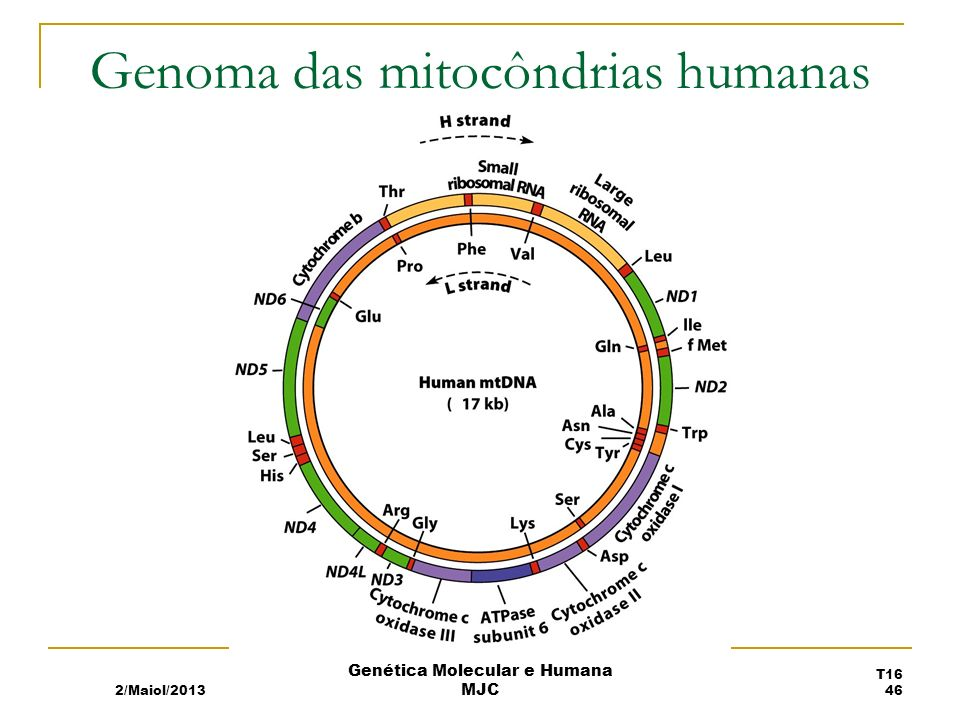 Genoma das mitocôndrias humanas 2/Maiol/2013 T16 46 Genética Molecular e Humana MJC