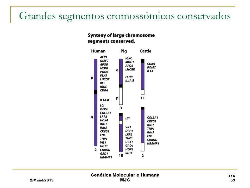 Grandes segmentos cromossómicos conservados 2/Maiol/2013 T16 53 Genética Molecular e Humana MJC
