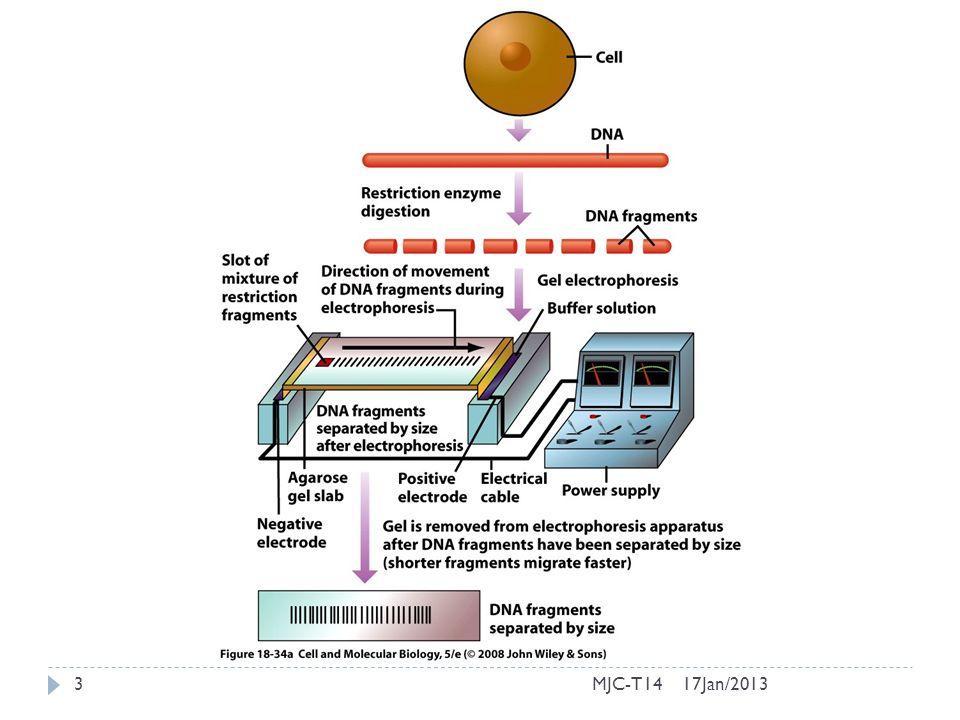 Clonagem do DNA em vírus 17Jan/2013MJC-T1424