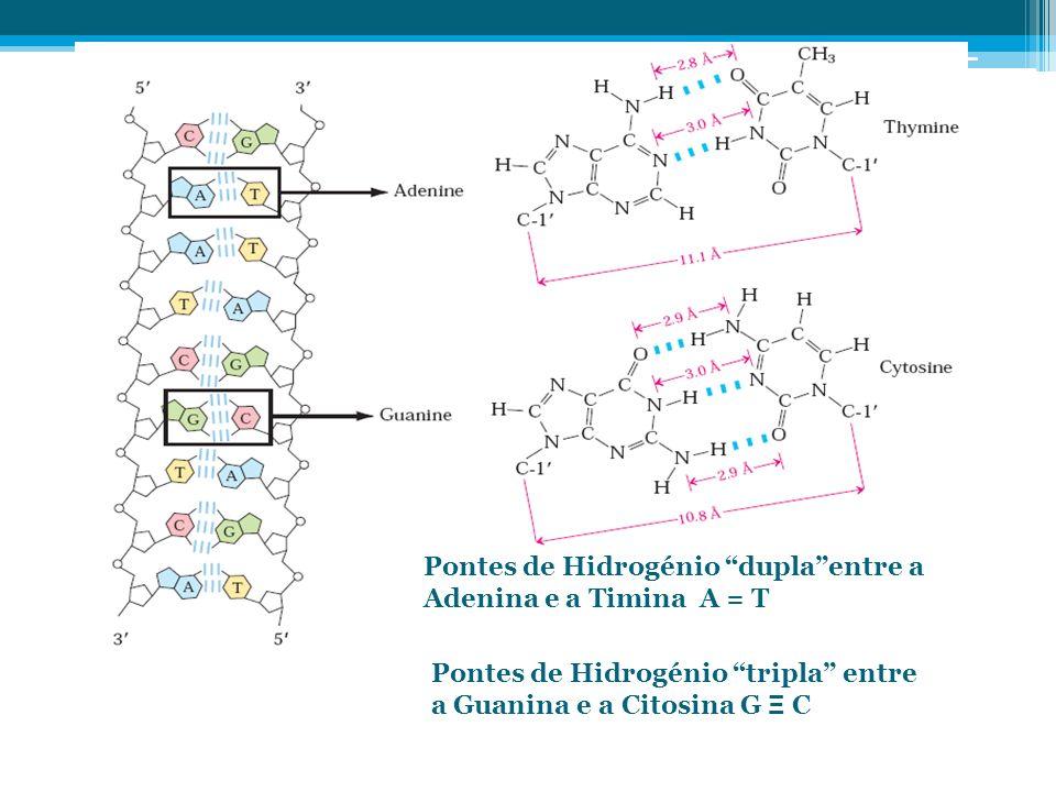 Pontes de Hidrogénio duplaentre a Adenina e a Timina A = T Pontes de Hidrogénio tripla entre a Guanina e a Citosina G Ξ C
