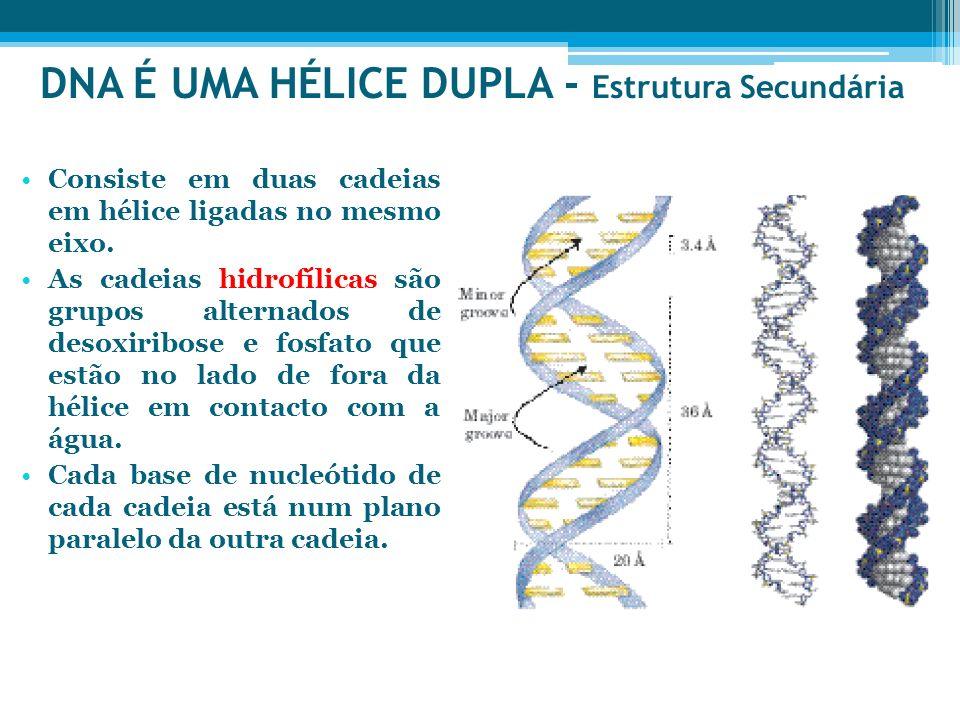DNA É UMA HÉLICE DUPLA - Estrutura Secundária Consiste em duas cadeias em hélice ligadas no mesmo eixo. As cadeias hidrofílicas são grupos alternados