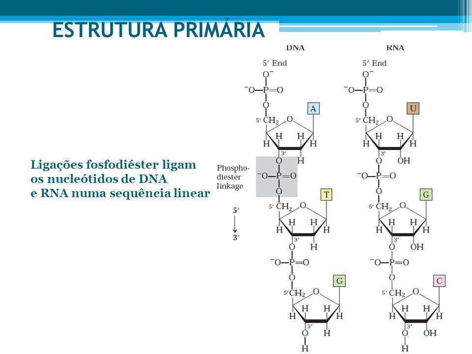 ESTRUTURA PRIMÁRIA Ligações fosfodiéster ligam os nucleótidos de DNA e RNA numa sequência linear
