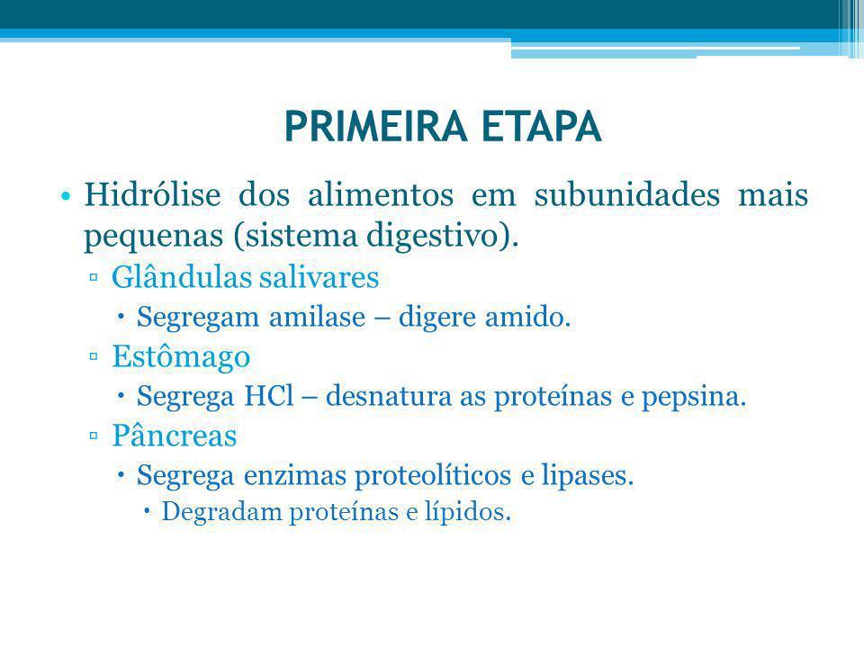 PRIMEIRA ETAPA Hidrólise dos alimentos em subunidades mais pequenas (sistema digestivo). Glândulas salivares Segregam amilase – digere amido. Estômago