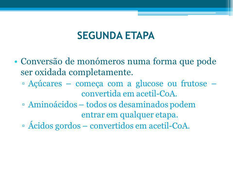 SEGUNDA ETAPA Conversão de monómeros numa forma que pode ser oxidada completamente. Açúcares – começa com a glucose ou frutose – convertida em acetil-