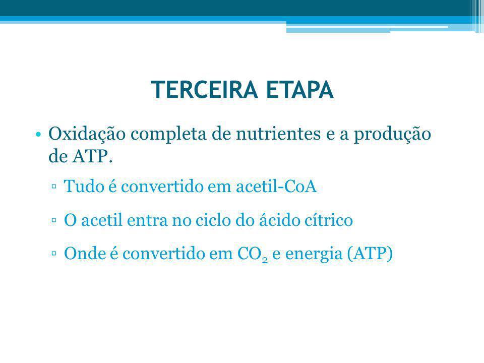 TERCEIRA ETAPA Oxidação completa de nutrientes e a produção de ATP. Tudo é convertido em acetil-CoA O acetil entra no ciclo do ácido cítrico Onde é co