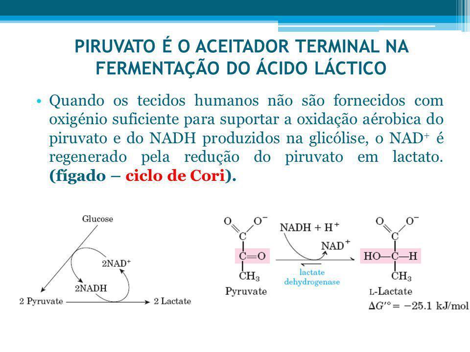 PIRUVATO É O ACEITADOR TERMINAL NA FERMENTAÇÃO DO ÁCIDO LÁCTICO Quando os tecidos humanos não são fornecidos com oxigénio suficiente para suportar a o