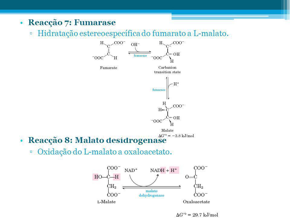 Reacção 7: Fumarase Hidratação estereoespecífica do fumarato a L-malato. Reacção 8: Malato desidrogenase Oxidação do L-malato a oxaloacetato.