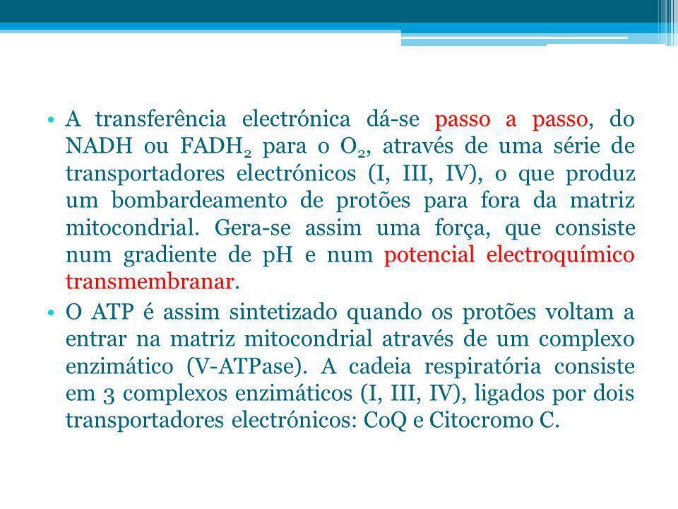 A transferência electrónica dá-se passo a passo, do NADH ou FADH 2 para o O 2, através de uma série de transportadores electrónicos (I, III, IV), o qu