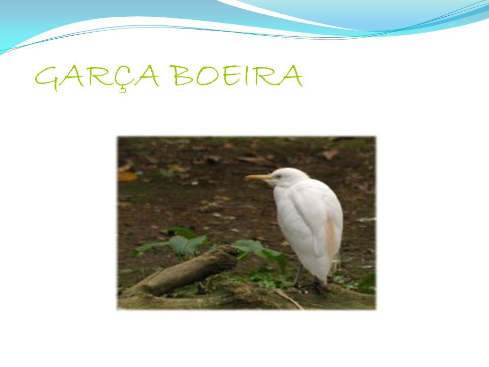GARÇA BOEIRA