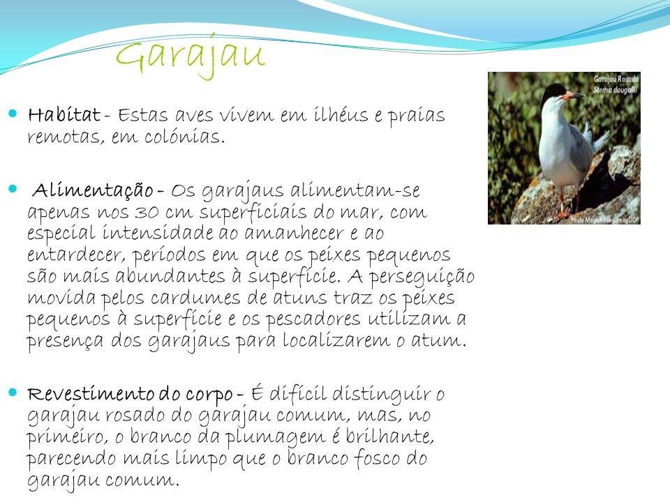Habitat - Estas aves vivem em ilhéus e praias remotas, em colónias. Alimentação - Os garajaus alimentam-se apenas nos 30 cm superficiais do mar, com e